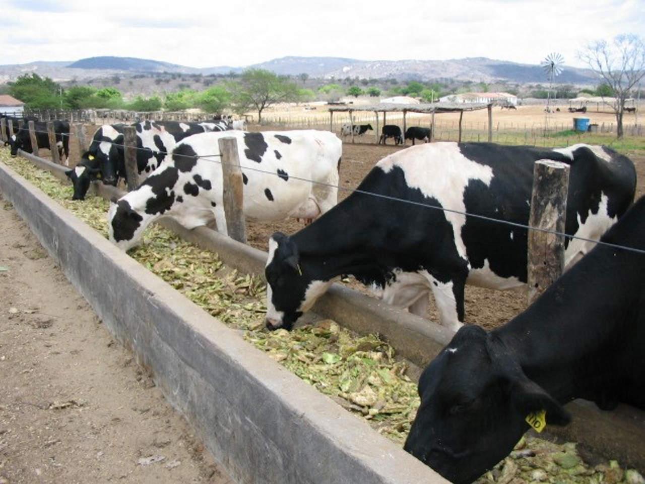 EGE-vacas_comiendo_nopal_002